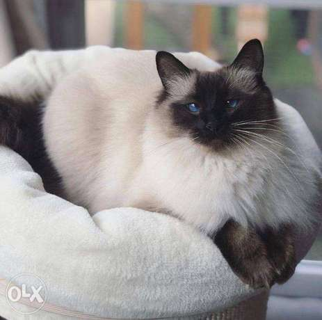 Beautiful Rag doll kittens for sale adoption