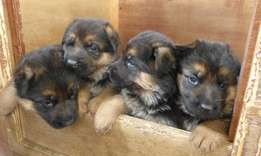 2 and a half months old vaccinated short coat German shepherd puppies