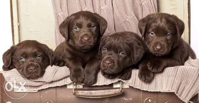 great puppies ready to join your wonderful family