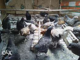 Improved kienyeji chicks 3weeks at 400 each