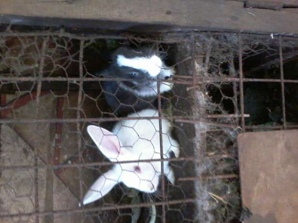 Rabbits for sale Kikuyu T-Ship - image 2
