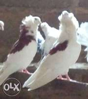 Capuchin exotic pigeon for sale