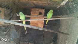 bonded pair of ringnecks for sale