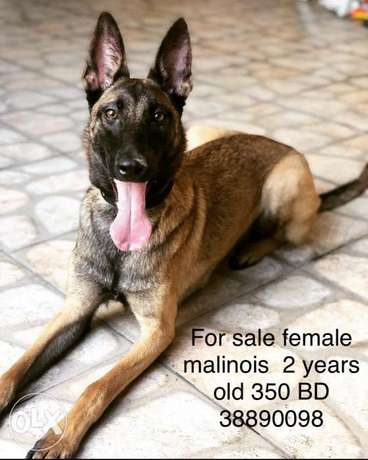 belgium malinois 2 year old female for sale