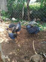 Domesticate vurturine guinea fowl for sell in pair's.