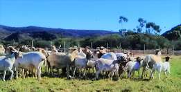 Meatmaster ewes for sale
