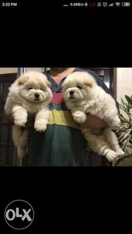 Available NOW in Cairo chow chow puppies
