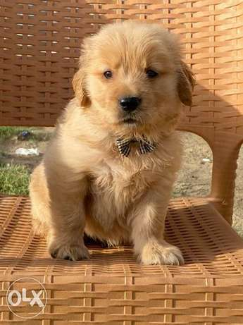 The most fabulous and amazing Golden retriever puppies