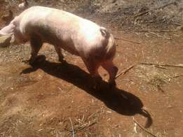 pregnant sow,best long breed,guranteed 14-16 piglets