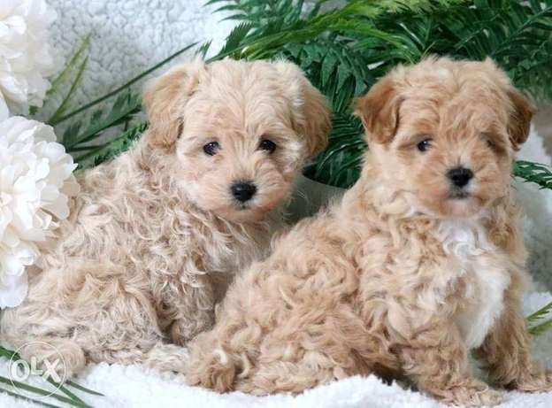 Gorgeous baby maltipoo puppies