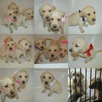 Fawn Labrador Puppies for sale