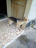 Pure breed German shepherd for mating at an affordable rate