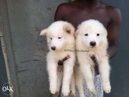 Extremely Cute American Eskimo Puppies
