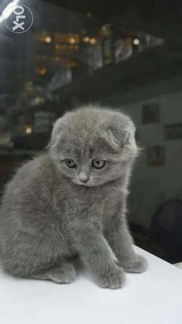Scottish fold kittens with imported Documents أشرفية -  2