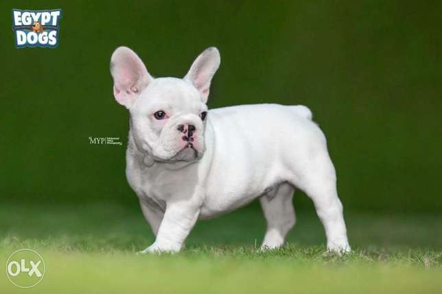 French Bulldog puppies Ready For Shipping From Kiev Full documents