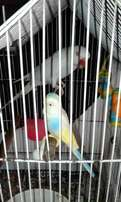 White Ringneck for sale