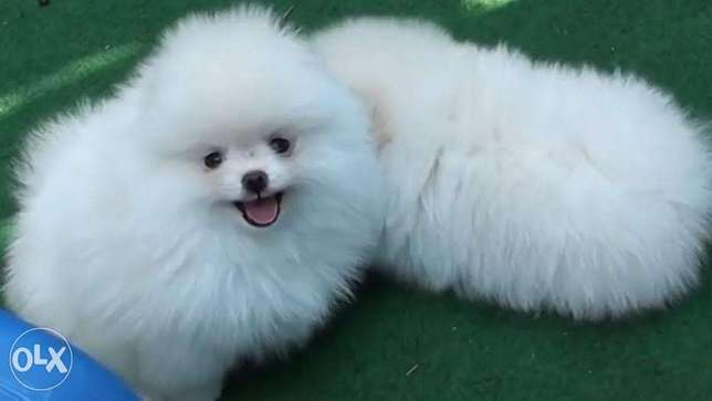 Home raised teacup Pomeranian puppies available for sale