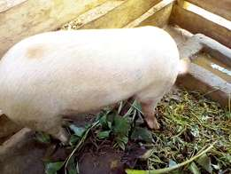 Mature pigs for slaughter