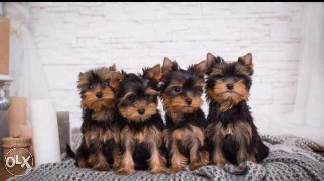 Reserve ur imported mini Yorkshire puppy from Ukraine with Pedigree