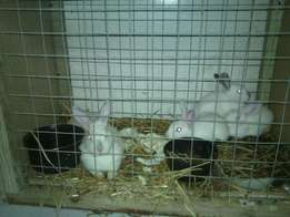 8 three months old White Rabbits for sale