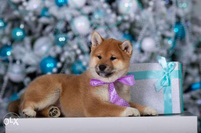 High Quality Shiba Inu Puppies Imported From Ukraine