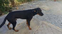 Dobberman/Rottweiler Cross - 24month Old Male