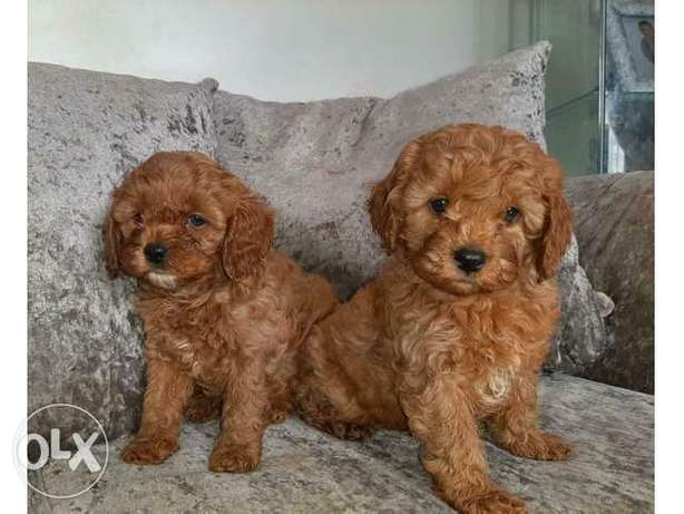 Lovely Poodle Puppies for sale جدة -  2