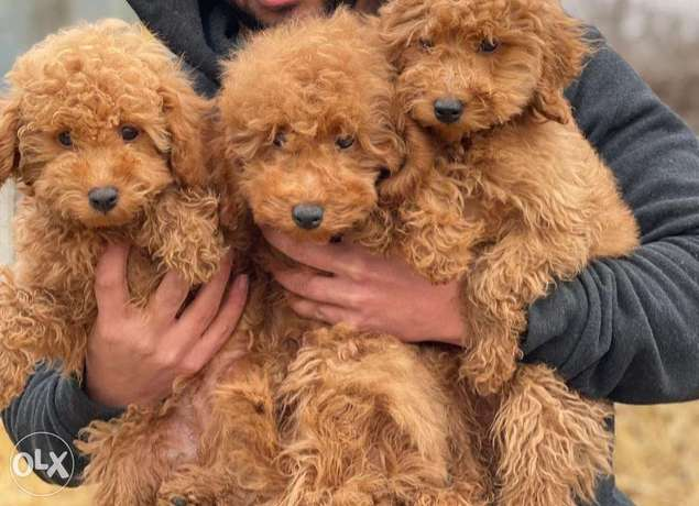 Arriving soon.. imported poodle puppies ,premium quality with pedigree