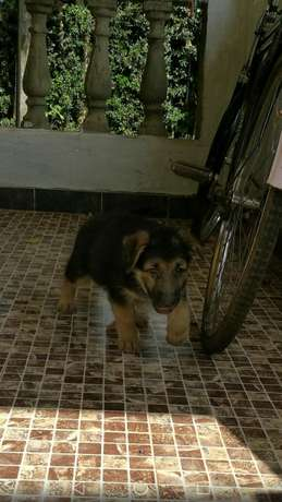 Giant Gsd PuppyAvailable Kakamega Town - image 3