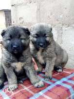 Quality Caucasian Puppies For Sale