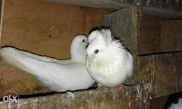 A pair of pigeons male is with long flair n female its cape both white