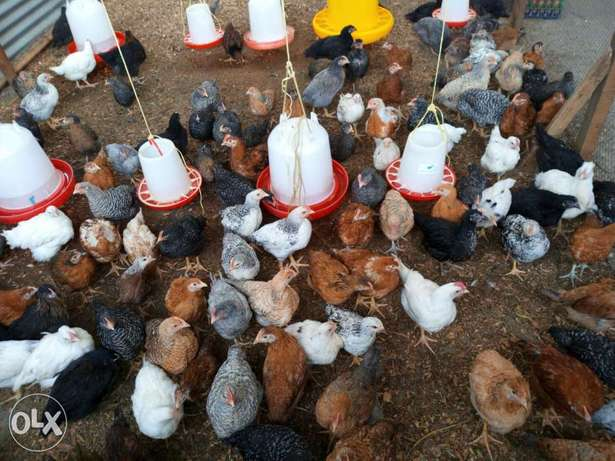 Chicks available for sale Kiamunyi - image 2