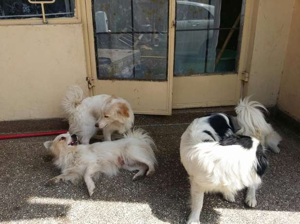 QUICK SALE one year old Japanese Spitz Hurlingham - image 3