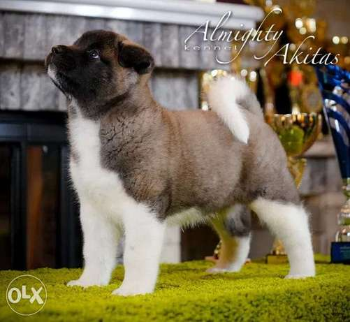 Top imported American Akita puppies