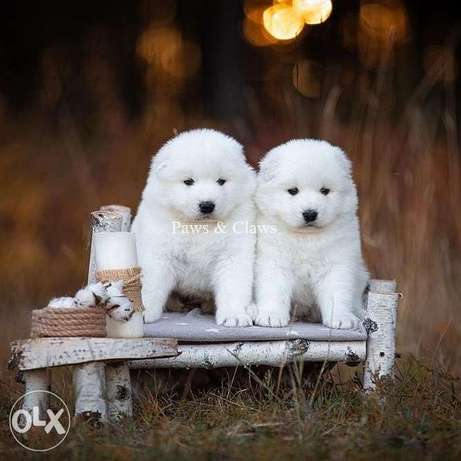 Samoyed Long-awaited puppies from titled parents.