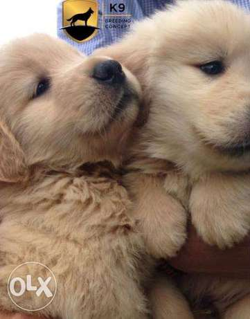 Available Golden puppies