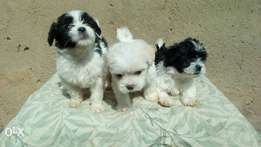 Both sex Lhasa apso available