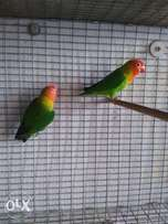 Nayasa lovebirds for sale !!!