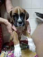 Imported Registered Boxer Puppy
