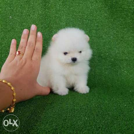 Pure Poms puppy's for sale
