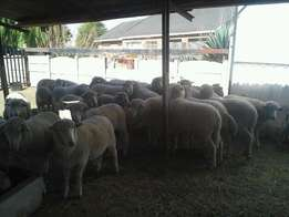 Cattle-for-sale-Boer-goats-sheep-Ram-and-cows-for-sale