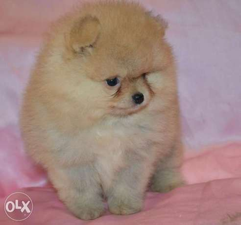 Imported teacup pomeranian puppies, premium quality with all dcs