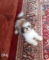 Shih Tzu Male (Reserved)