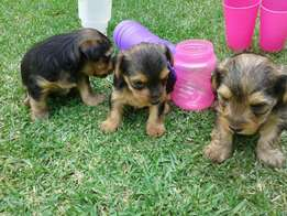 2x Yorkie Male puppies