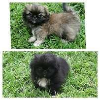 Beautiful Pekinese puppies for sale