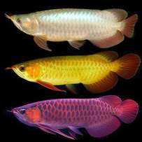 Silver and Bloody Red Arowana Fishes For Sale