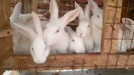 Pure breed New Zealand White rabbits.