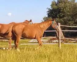 Thoroughbred For Sale