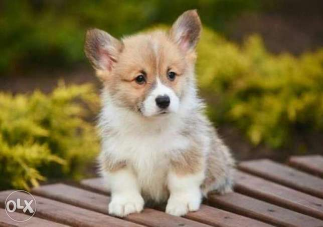 Reserve ur imported corgi puppy with all documents, top quality