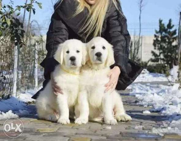 Reserve ur imported golden retriever puppy with Pedigree